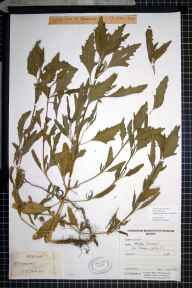 Atriplex littoralis x patula herbarium specimen collected in 1977.