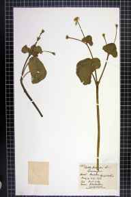 Caltha palustris var. guerangerii herbarium specimen from Poulstone, VC36 Herefordshire in 1876 by Rev. Augustin Ley.