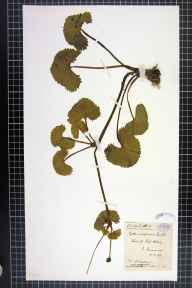 Caltha palustris var. guerangerii herbarium specimen from Loch Alvie, VC96 East Inverness-shire in 1898 by Dr William Andrew Shoolbred.