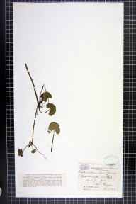 Caltha palustris var. guerangerii herbarium specimen from Reigate, VC17 Surrey in 1889 by Mr William Hadden Beeby.