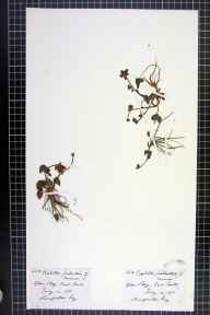 Caltha palustris var. guerangerii herbarium specimen from Glen Beg, VC89 East Perthshire in 1876 by Rev. Augustin Ley.