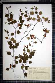 Betula pendula x pubescens = B. x aurata herbarium specimen from Garve, VC106 East Ross & Cromarty in 1909 by Dr William Andrew Shoolbred.