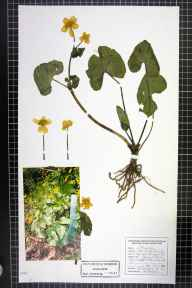 Caltha palustris var. guerangerii herbarium specimen from Parbold, VC59 South Lancashire in 1996 by Paul Derbyshire.