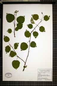 Betula pendula x pubescens = B. x aurata herbarium specimen from Alderley Edge, VC58 Cheshire in 2003 by Ed G Bellinger.
