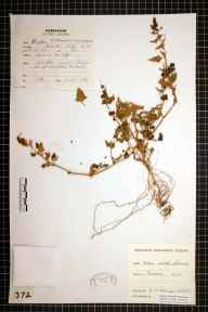 Atriplex prostrata x glabriuscula herbarium specimen from Barmston, VC61 South-east Yorkshire in 1978 by Eric Chicken.