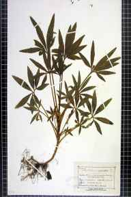 Helleborus foetidus herbarium specimen from Great Doward, VC36 Herefordshire in 1875 by Mr Charles Bailey.