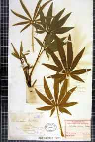Helleborus foetidus herbarium specimen from Abergele, VC50 Denbighshire in 1872 by Mr Leopold Hartley Grindon.