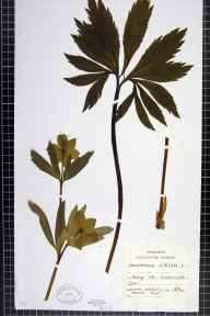 Helleborus viridis herbarium specimen from Edge, VC33 East Gloucestershire in 1894 by Chenevix-Trench.