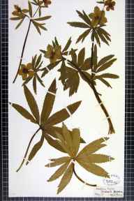 Helleborus viridis herbarium specimen from Thorp Arch, VC64 Mid-west Yorkshire in 1871 by Laura Shannon.