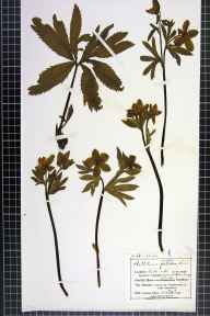 Helleborus viridis herbarium specimen from Grange over Sands, VC69 Westmorland in 1905 by Mr Charles Bailey.
