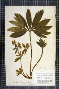 Helleborus viridis subsp. occidentalis herbarium specimen from Monkton Farleigh, VC7 North Wiltshire in 1893 by Mr Frederick Thompson Mott.