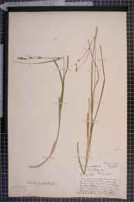 Carex otrubae x remota = C. x pseudoaxillaris herbarium specimen from Tyldesley, VC59 South Lancashire in 1842 by Dr John Bland Wood.