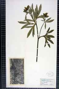 Helleborus viridis subsp. occidentalis herbarium specimen from Ogbourne, VC7 North Wiltshire in 1934.