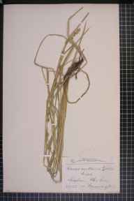 Carex otrubae x remota = C. x pseudoaxillaris herbarium specimen from Ledsham, VC58 Cheshire in 1873 by Mr John Harbord Lewis.
