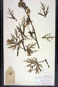 Aconitum napellus herbarium specimen from Eaton Bishop, VC36 Herefordshire in 1878 by Rev. Augustin Ley.