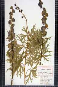 Aconitum napellus herbarium specimen from Ludlow, VC40 Shropshire in 1837 by Rev. William Allport Leighton.