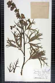 Aconitum napellus herbarium specimen from Eaton Bishop, VC36 Herefordshire in 1875 by Rev. Augustin Ley.