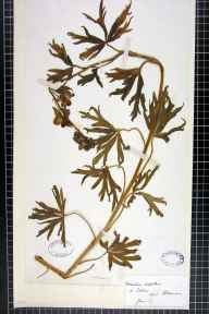 Aconitum napellus herbarium specimen from Totnes, VC3 South Devon in 1877.