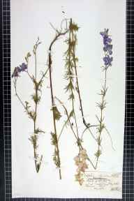Consolida ajacis herbarium specimen from Hoylake, VC58 Cheshire in 1872 by Mr Henry Smith Fisher.