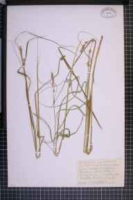 Carex otrubae x remota = C. x pseudoaxillaris herbarium specimen from Rede, VC26 West Suffolk in 1911 by Mr Joseph Edward Little.