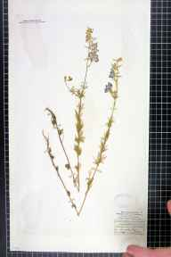 Consolida regalis herbarium specimen from Audley End, VC19 North Essex in 1840 by Rev. John Ewbank Leefe.