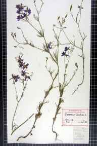 Consolida regalis herbarium specimen from VC34 West Gloucestershire in 1882 by Rev Alexander Cossart Hasse.