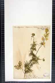 Consolida regalis herbarium specimen from Isle of Thanet, VC15 East Kent in 1841.