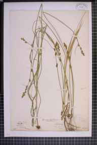 Carex otrubae x remota = C. x pseudoaxillaris herbarium specimen from Tyldesley, VC59 South Lancashire in 1871 by Mr Thomas Rogers.