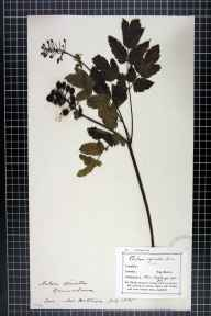 Actaea spicata herbarium specimen collected in 1895 by Miss  Hottinger.