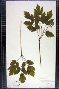 Actaea spicata herbarium specimen from Hovingham, VC62 North-east Yorkshire in 1841 by Mr Henry Ibbotson.