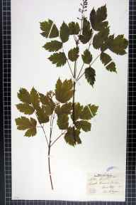 Actaea spicata herbarium specimen from Castle Howard, VC62 North-east Yorkshire in 1849 by Mr Henry Ibbotson.