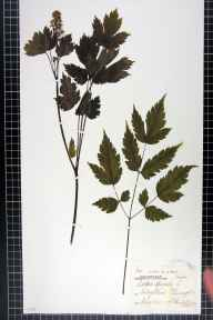 Actaea spicata herbarium specimen from Liley Wood, VC63 South-west Yorkshire in 1874 by Mr Charles Codrington Pressick Hobkirk.