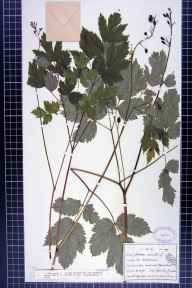 Actaea spicata herbarium specimen from Ribblehead, VC64 Mid-west Yorkshire in 1912 by John Cryer.