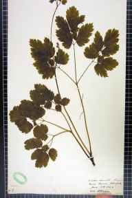 Actaea spicata herbarium specimen from Becca Banks, Aberford, VC64 Mid-west Yorkshire in 1906 by H L Craven.