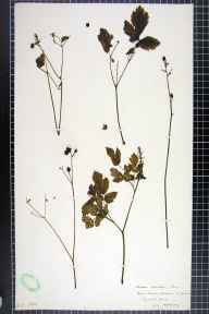 Actaea spicata herbarium specimen from Aberford, VC64 Mid-west Yorkshire in 1907 by H L Craven.