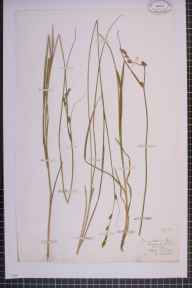 Carex otrubae x remota = C. x pseudoaxillaris herbarium specimen from Barmouth, VC48 Merionethshire in 1876 by Mr Thomas Rogers.