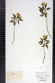 Anemone nemorosa herbarium specimen from Middleton, VC59 South Lancashire in 1902 by Mr Henry (Harry) Searle.