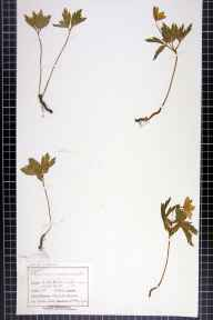 Anemone nemorosa herbarium specimen from Castle Mill, VC58 Cheshire in 1901 by Mr Charles Bailey.