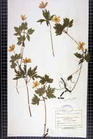 Anemone nemorosa herbarium specimen from Castle Mill, VC58 Cheshire in 1899 by Mr Charles Bailey.