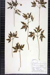 Anemone nemorosa herbarium specimen from Wilmslow,Morley, VC58 Cheshire in 1876 by Mr Charles Bailey.