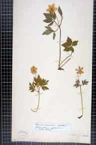 Anemone nemorosa herbarium specimen collected by Miss Lydia Ernestine Becker.