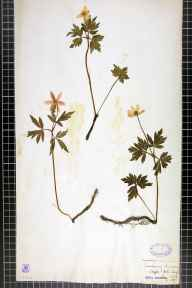 Anemone nemorosa herbarium specimen from Manchester, Blackley, VC59 South Lancashire in 1838 by Ainsworth.