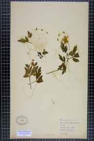 Anemone nemorosa herbarium specimen from Milton, VC57 Derbyshire in 1935 by Rhoda Hemmings.