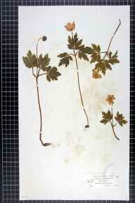 Anemone nemorosa herbarium specimen from Braemar, VC92 South Aberdeenshire in 1855 by Mr Alexander Croall.