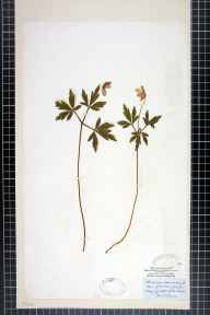 Anemone nemorosa herbarium specimen from Aske Wood, VC65 North-west Yorkshire in 1865 by Mr James Ward.
