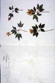 Anemone nemorosa herbarium specimen from Fareham, VC11 South Hampshire in 1843.