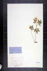 Anemone nemorosa herbarium specimen from Rhydymwyn, VC51 Flintshire in 1877 by Mr John Harbord Lewis.