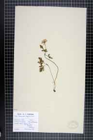 Anemone apennina herbarium specimen from Woolton, VC59 South Lancashire by T S Duffy.