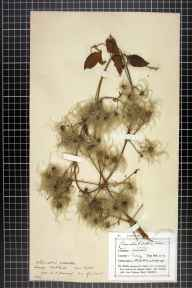 Clematis vitalba herbarium specimen from Ashtead, VC17 Surrey in 1898 by M A Mansell.