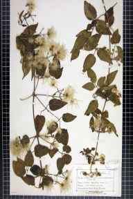 Clematis vitalba herbarium specimen from Abbots Cliff, VC15 East Kent in 1878 by Mr Charles Bailey.